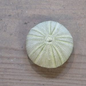 Sea Urchin – Green