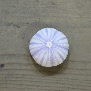 Sea Urchin – Purple Small