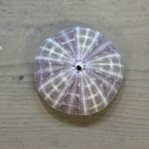 Sea Urchin – Large Purple