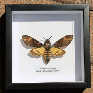 Death's Head Hawk Moth – Framed