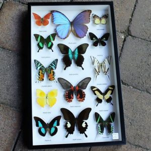 Butterfly Collection – Framed
