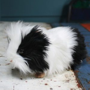 Guinea Pig by Hansa – Black & White