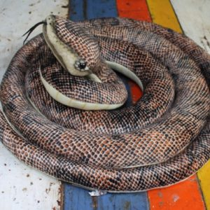 Brown Snake by Hansa